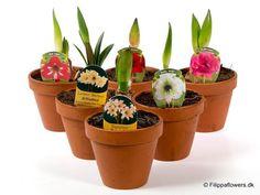 Christmas Amaryllis in range of colours - Hippeastrum hybrid Amaryllis Bulbs, Border Plants, Large Flowers, Potted Plants, House Plants, Planter Pots, Great Gifts, Bloom, Range