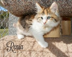 Renia is approx 8 weeks old.The first step to our adoption process is to fill an application out        from our website or the shelter. We have a 24 hour application.  Our shelter adopts in order of applications received and       approval of ...