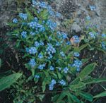 our fave five aquatic plants for the pond, flowers, gardening, outdoor living, Water Forget Me Not looks great when planted in gentle stream beds