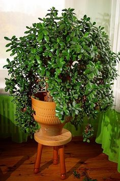 Money Tree Plant Care How To Look After Your Jade Plant - House Plants - ideas of House Plants - 10 Easy Houseplants To Growplants I always think of outdoors. Jade Plants, Potted Plants, Succulents Garden, Planting Flowers, Crassula Succulent, Crassula Ovata, Jade Succulent, Succulent Care, Money Tree Plant Care