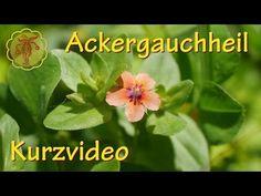 Ackergauchheil