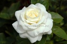 Icegirl* :- A snow white bloom on a strong growing plant.Worth growing for its fragrance alone!