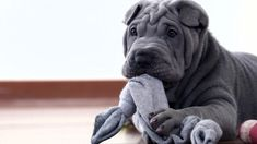 Shar Pei dog with a toy. One blue grey Sharpei puppy stretching cloth.