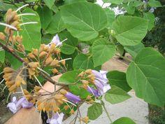 Empress Tree- Paulownia tomentosa- Scrophulariaceae