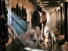 Dalmatian and Clydesdale -