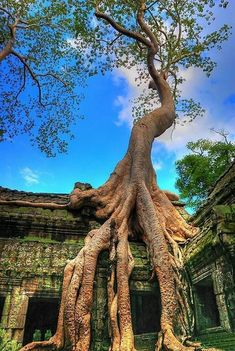 Ta Prohm Temple ruins in Angkor, Cambodia. I actually saw this tree - such an amazing site. Places Around The World, Oh The Places You'll Go, Around The Worlds, Beautiful World, Beautiful Places, Amazing Places, Temple Ruins, Jolie Photo, Growing Tree