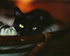 {Mr Felix of the golden eyes} K Miller photography