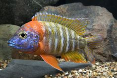 red fire queen peacock cichlid lrg aulonocara baenschi 'red ...