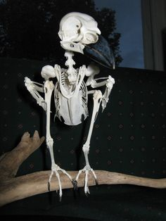 The Corvid Blog: Hooded Crow Skeleton