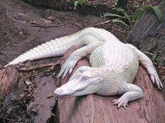 Albino Alligator - Imgur