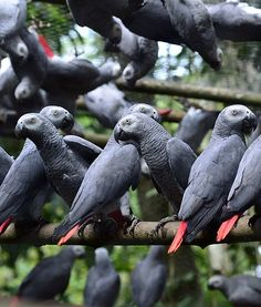 African Greys in the wild..not! Look carefully and you will see the wire ...