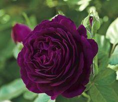 Twilight Zone New 2013    Rosa Grandiflora