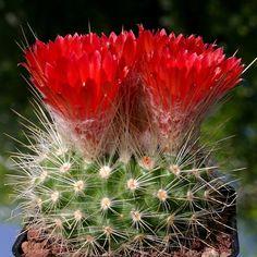 Cacti And Succulents, Planting Succulents, Cactus Plants, Agave Plant, Terrarium Plants, Cactus Blossoms, Blooming Plants, Cactus Y Suculentas, Plantar