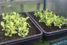 Growing Vegetables In Pots: How To Grow Salad Leaves Growing Vegetables In Pots, Planting Vegetables, Vegetable Garden, Veggies, Grow Home, Dig Gardens, Growing Lettuce, Grow Your Own, Compost