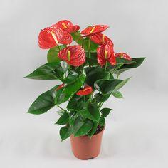 Anthurium andr. Red Winner Ø17cm