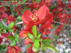 Flowering Quince - Red We love flowering branches. The are beautiful arranged on their own or mixed into a grand design. They smell good too! Local Color, Grand Designs, Smell Good, Cut Flowers, Branches, Beautiful Flowers, February, Spring, Plants