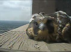 Columbus Peregrine Falcon Update: May 2016