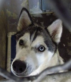 "NO INTEREST! LOW SHARES! THIS BEAUTIFUL GIRL NEEDS NETWORKING! A4683478. My name is Roo. I'm a 2 yr old female gray/white Siberian Husky. My kennel card says I'm ""food aggressive"" but really I'm just hungry. Baldwin Park Shelter. 4275 Elton Street, Baldwin Park, California 91706 Phone 626 430 2378. https://www.facebook.com/photo.php?fbid=749823355029504&set=a.705235432821630&type=1&theater"