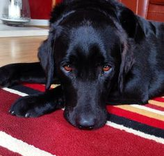 Max Labrador Retriever, Past, Dogs, Animals, Labrador Retrievers, Past Tense, Animales, Animaux, Pet Dogs