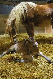 【帯広】輓馬の出産シーズン到来♥生まれて間もない子馬と、いとおしそうに顔を近づける母馬=14日午前3時5分(舘山国敏撮影)