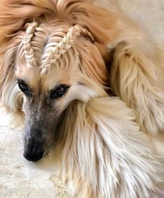 The Afghan Hound is no beginner dog, however. They are very intelligent, and that leads to a certain amount of stubbornness. Afghan Hounds are also very independent dogs, and that can make training hard too.