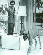 Great Dane - Brutus.. Elvis bought 2 dogs for Pricilla, Brutus Snoopy as a present. Brutus played in Live a Little, Love a Little with Elvis.