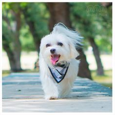 I feel like I'm on a catwalk today! ☀️ Bandana info ▶️ http://www.unitedpups.com #bandana #blackandwhite #park #puppylove #doglover #whitedog #weeklyfluff #maltese #pomeranian #yorkie #chihuahua #shihtzu #poodle #pug #frenchie #dachshund #morkie #pawsome