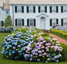 Endless Summer Hydrangea - our experts can guide you on how to get ...