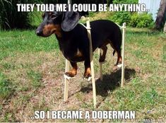 Dachshund became a Doberman. I have a Dachshund and he looks exactly like the one in this picture. Finally Tank can live up his name! :D hahahah Funny Dachshund, Dachshund Love, Funny Dogs, Daschund, Doberman Funny, Mini Doberman, Doberman Dogs, Dachshund Puppies, Bloodhound