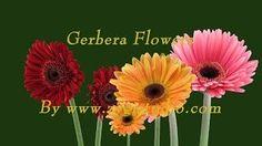 zygistudio - YouTube Gerbera, Video Clip, Flowers, Youtube, Plants, Plant, Royal Icing Flowers, Flower, Youtubers