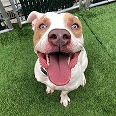 New York, New York - Pit Bull Terrier. Meet RUDOLPH, a for adoption. https://www.adoptapet.com/pet/21148934-new-york-new-york-pit-bull-terrier-mix