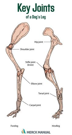 Refresh your knowledge of joint disorders in dogs.
