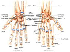 Wrist, Hand and fingers Os Main, Skeleton Muscles, Human Skeleton, Hands Tutorial, Science Of Happiness, Anatomy Bones, Accupuncture, Musculoskeletal System, Human Body