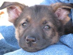 Sierra, our 8-week-old German Shepherd puppy