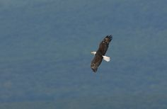 Stop by Hawk Mountain to view some gorgeous bald eagles.