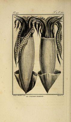 """The harpoon squid from """"Histoire naturelle"""", Paris, 1802-05"""