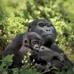 Uganda's Mountain Gorillas  Travel with ECOLIFE to see the mountain gorillas www.ecolifeconservation.org