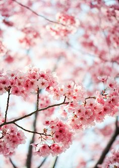 cherry blossoms. i wish these grew here!