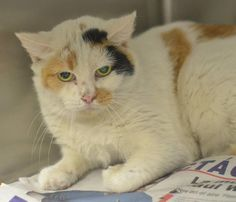 Gorgeous Gals-Philly's Urgent FEMALE Cats - Philly Urgents Page