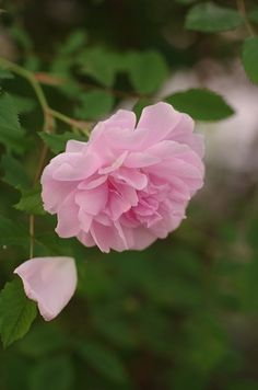 Boursault Rose: Rosa 'Blush Boursault' (France, before 1828)