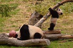 https://flic.kr/p/mHvktP | Bao Bao - Panda cub | 140402 cd 257