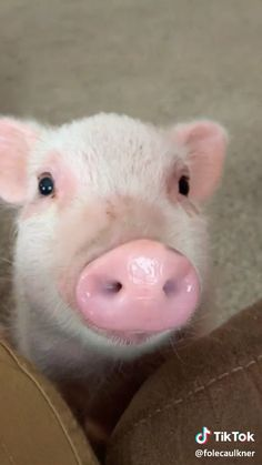 Cute Pig Eating Video Cute Pig Eating Video,Quick saves Cute😍😍 Related posts:Reduzierte Damenpoloshirts & Damenpolohemden𝕚𝕟𝕤𝕥𝕒, 𝕧𝕤𝕔𝕠, 𝕡𝕚𝕟𝕥𝕖𝕣𝕖𝕤𝕥: girls Cute Baby Pigs, Cute Piglets, Baby Animals Super Cute, Cute Little Animals, Cute Funny Animals, Baby Piglets, Little Pigs, Baby Animals Pictures, Cute Animal Pictures