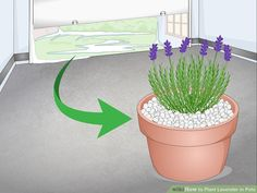 How to Plant Lavender in Pots. Lavender plants are beautiful and fragrant plants that thrive in warm dry climates. Not all climates are great for them, so sometimes they need a little extra care to grow well and produce the blossoms you. Lavender Plant Uses, Indoor Lavender Plant, Lavender Planters, Potted Lavender, Growing Lavender, Lavender Flowers, Plantar Rosales, Baie De San Francisco, Agriculture Durable