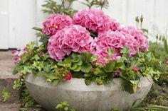 En flott sammenplanting av hortensia, jordbær og eføy i stor fiberclay potte. Hortensia Hydrangea, Flower Pots, Flowers, Dream Garden, Beautiful Roses, Garden Inspiration, Container Gardening, Planting, Seeds