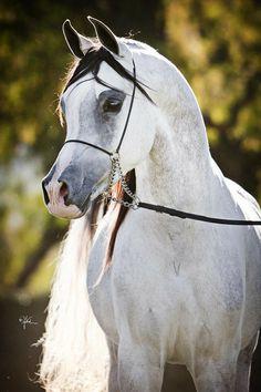 Arabhorse.com - Epic MP - Mindy Peters Arabians - Arabian Horse