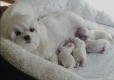 Beautiful Dam with her four precious puppies. Little Puppies, Cute Puppies, Cute Dogs, Dogs And Puppies, Doggies, Maltese Poodle, Maltese Dogs, Teacup Maltese, Havanese Puppies