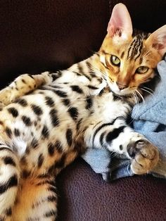 Beautiful Bengal belly :)