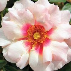 Eyeconic® Roses | Star Roses & Plants