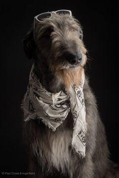 Irish Wolfhound -Tommy  dei Mangialupi by Paul Croes & Inge Nelis #animals #dogs #irishwolfhound #paulcroes
