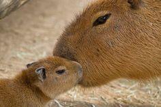 Baby capybura